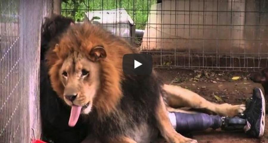 A mozgássérült férfi egyszerűen besétál az oroszlán ketrecébe...