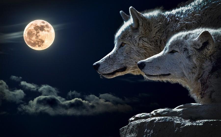 Példabeszéd két farkasról, amit elolvasni csak húsz másodperc
